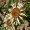 Ans Gorter - Carlina vulgaris L.