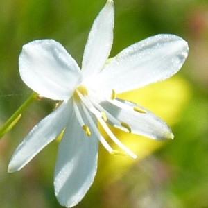 - Anthericum liliago L. [1753]