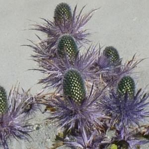- Eryngium alpinum L. [1753]