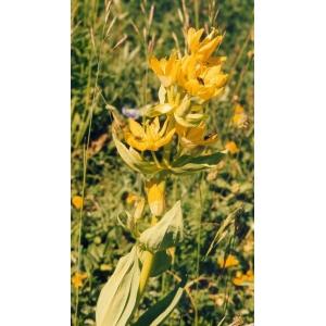 Gentiana lutea subsp. montserratii (Greuter) Romo