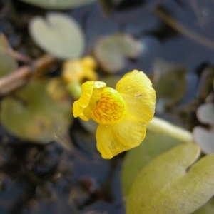 - Utricularia L. [1753]