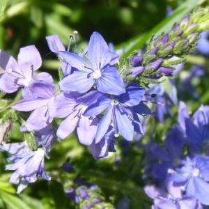 - Veronica austriaca subsp. teucrium (L.) D.A.Webb [1972]