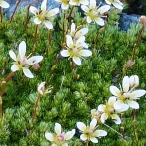 - Saxifraga bryoides L. [1753]