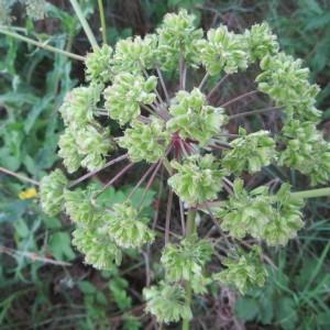 Photographie n°258045 du taxon Angelica sylvestris L. [1753]