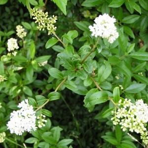 Photographie n°258053 du taxon Ligustrum vulgare L. [1753]