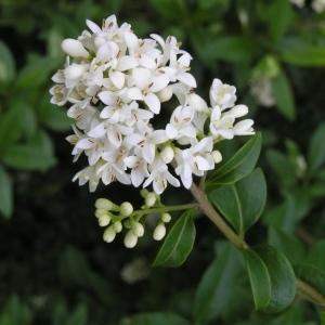 Photographie n°258054 du taxon Ligustrum vulgare L. [1753]