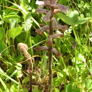 Photographie n°258058 du taxon Orobanche alba Stephan ex Willd.