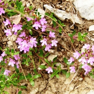 Photographie n°258087 du taxon Thymus praecox subsp. praecox