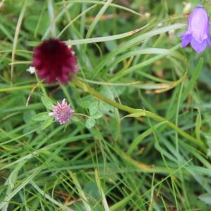Photographie n°258129 du taxon Nigritella rhellicanii subsp. rhellicanii