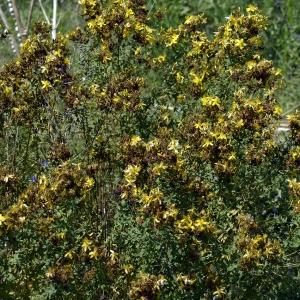 Photographie n°258231 du taxon Hypericum perforatum L.