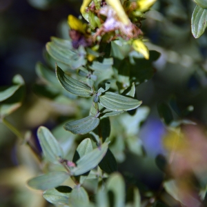 Photographie n°258233 du taxon Hypericum perforatum L.