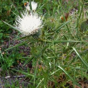 Cirsium ferox (L.) DC. (Cirse féroce)