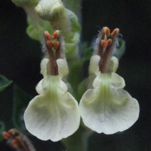 Photographie n°258282 du taxon Teucrium scorodonia L.