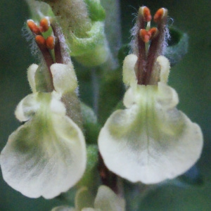 Photographie n°258285 du taxon Teucrium scorodonia L.