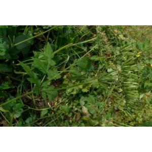 Chaerophyllum elegans Gaudin (Cerfeuil élégant)