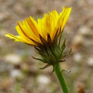 - Picris hieracioides L.