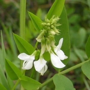 - Galega officinalis L. [1753]