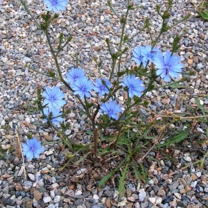 Photographie n°258445 du taxon Cichorium intybus subsp. intybus