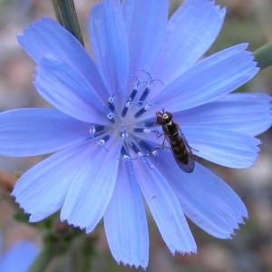 Photographie n°258446 du taxon Cichorium intybus subsp. intybus