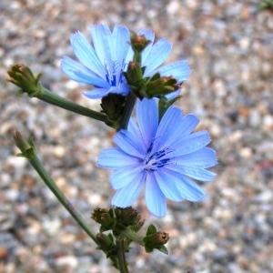 Photographie n°258447 du taxon Cichorium intybus subsp. intybus