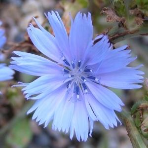 Photographie n°258448 du taxon Cichorium intybus subsp. intybus