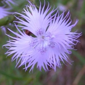 Dianthus hyssopifolius L. (Oeillet de Montpellier)