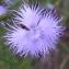 Alain Bigou - Dianthus hyssopifolius L. [1755]