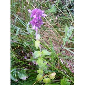 Clinopodium vulgare L. subsp. vulgare (Calament clinopode)