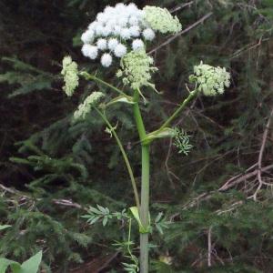 Photographie n°258596 du taxon Angelica sylvestris L. [1753]