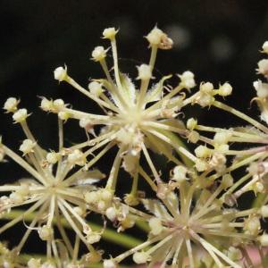 Laserpitium halleri Crantz (Laser de Haller)