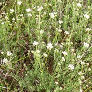 Photographie n°258822 du taxon Dorycnium pentaphyllum subsp. pentaphyllum