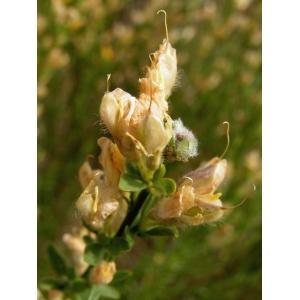 Genista cinerea (Vill.) DC. subsp. cinerea (Genêt cendré)