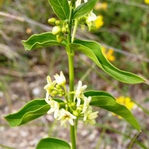 Photographie n°258897 du taxon Vincetoxicum hirundinaria subsp. hirundinaria