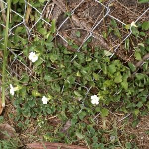 Photographie n°258924 du taxon Thunbergia fragrans Roxb.