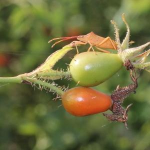Photographie n°259104 du taxon Rosa rubiginosa L.