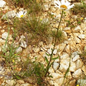 Photographie n°259245 du taxon Leucanthemum vulgare Lam. [1779]