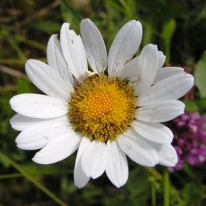 Photographie n°259246 du taxon Leucanthemum vulgare Lam. [1779]