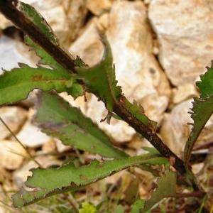 Photographie n°259248 du taxon Leucanthemum vulgare Lam. [1779]