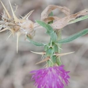 Photographie n°259334 du taxon Centaurea calcitrapa L. [1753]