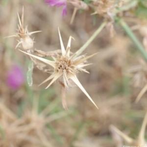Photographie n°259335 du taxon Centaurea calcitrapa L. [1753]