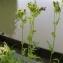 Jacques DELVALLEE - Cirsium oleraceum (L.) Scop.