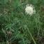 Anny Raim - Cephalaria leucantha (L.) Schrad. ex Roem. & Schult.