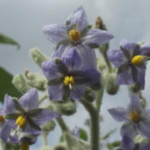 Solanum mauritianum Scop. (Wild Tobacco-tree)