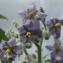 Jean-Claude Echardour - Solanum mauritianum Scop.