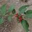 Florent ESCUDIER - Solanum dulcamara L. [1753]