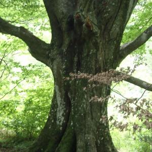 Photographie n°259621 du taxon Fagus sylvatica L.