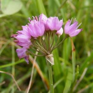 - Allium lusitanicum Lam. [1783]