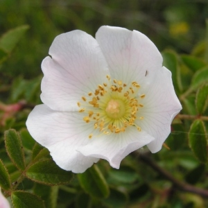 Photographie n°259759 du taxon Rosa arvensis Huds.