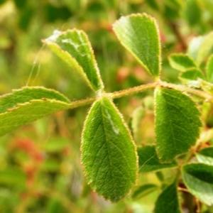 Photographie n°259761 du taxon Rosa arvensis Huds.