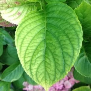 - Hydrangea macrophylla (Thunb.) Ser.